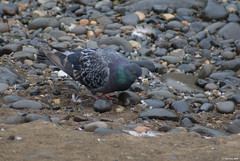 Rock Pigeon (youngwarrior) Tags: park bird oregon pigeon columbalivia oregoncity rockpigeon