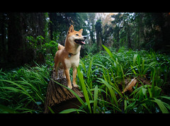 Forest Creature - 9/52 (kaoni701) Tags: sf sanfrancisco park portrait dog cute nature forest puppy lost nikon tokina suki shibainu sterngrove sloat lr3 shibaken  sb800 1116 ezy strobist sb900 d300s 52weeksfordogs