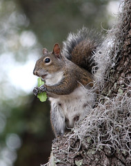 Mama Squirrel Having A Little Salad! (kathleenjacksonphotography) Tags: nature fun squirrel florida bokeh wildlife liveoak spanishmoss wildlifecloseup squirrelhavingasalad mamasquirreleatingherveggies
