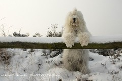 we found Yeti...... (dewollewei) Tags: old english sheepdog yeti bobtail oes oldenglishsheepdog sheepdogs oldenglishsheepdogs sweetexpressions hhanimalsonly