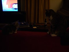 Face-off (Iron Jenny) Tags: cat jack kitten tabby kitty juniper joon jackandjoon