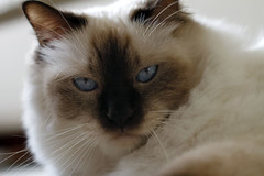 Kenzo close up (Thelma Gatuzzo) Tags: light portrait pet cat fur chat blueeyes fluffy malecat gatti wiskers kenzo olhosazuis bigodes sacredbirman sagradodabirmnia thelmagatuzzo
