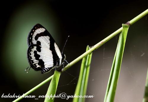 Straight Pierrot Jampui Tripura 2009 11 14 9 21001