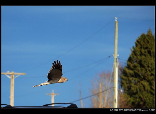 Male Northern Harrier (Circus cyaneus)