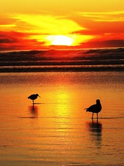 Perfect Harmony, California Light (moonjazz) Tags: ocean life california light sunset red two sky orange color colour nature beauty birds silhouette yellow photography gold evening coast photo perfect earth seagull tide horizon shoreline playa best cielo planet wade lowtide shallow mellow flckr mywinners moonjazz11