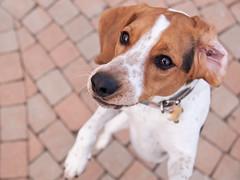 Standing (Paguma / Darren) Tags: dog hound floyd tamronspaf1750mmf28xrdiiildasphericalif