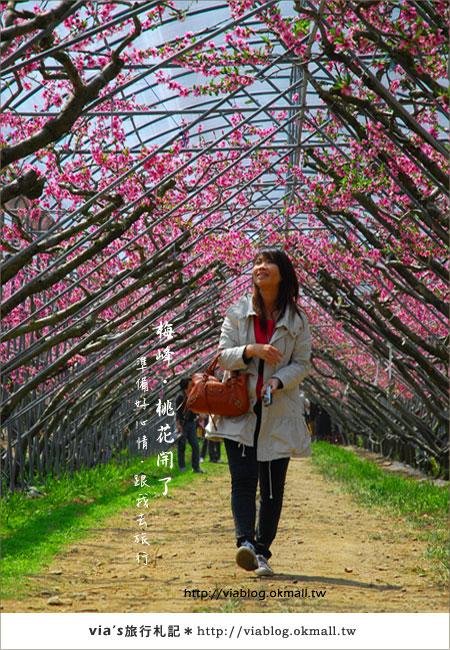 【梅峰農場桃花緣】最美的桃花隧道,就在南投梅峰這裡~(上)45