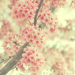 S A K U R A (Shana Rae {Florabella Collection}) Tags: tree love beauty cherry blossom explore sakura cherryblossoms frontpage florabellacollection florabellaactions