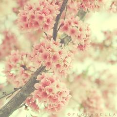 S A K U R A (Shana Rae {Florabella Collection}) Tags: tree love beauty cherry blossom explore sakura cherryblossoms frontpage florabellacollection florabellaactions