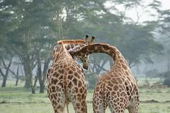 Lake Nakuru (Vecaks.narod.ru) Tags: africa lake kenya nakuru