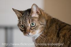 Toni (Eisbeertje) Tags: pet cats pets animal animals cat nikon katten kat micro toni dieren dier poes poezen 2010 maart 105mm unamourdechat 20100324