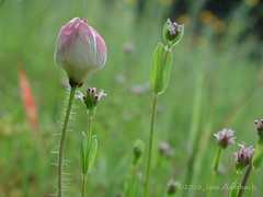 in the meadow (nowhereonearth) Tags: pink wild hairy flower green losangeles bokeh meadow stems wildflower springtime hairs unidentified californianative malibucreekstatepark reaganranch flowersarefabulous janeauerbach pleasedonotreproducecopyorrepostphotographwithoutphotographerspermission