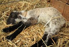 Dying lamb
