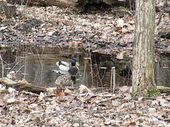 Mallard Ducks Harms Woods (amoran773) Tags: trees duck woods ducks cookcountyforestpreserve northbranchchicagoriver