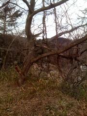 栗の木にからまった藤蔓