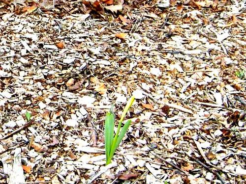 cropped daffodil