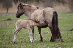 Konik  Foal (Veulen van Konik paard) (Erwin Bolwidt) Tags: horse baby animal paard naturephotography foal konik veulen workshopnatuurfotografie20100326 oostvaardersplassenn