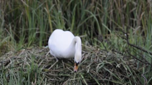 Video - Swan Building Nest