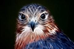 Electric Kestrel (Dan Baillie) Tags: bird electric scotland eyes nikon ghost beak feathers stare gaze spectre kestrel falconry danbaillie bailliephotographycouk bailliephotography wigtownshirephotographer dumfriesandgallowayphotography