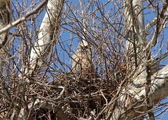 Great Horned Owl (grobinette) Tags: virginia occoquanbaynationalwildliferefuge owl raptor greathornedowl