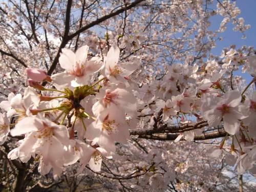<桜>当麻寺横の公園-03