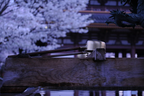 池上本門寺の桜 Cherry blossom