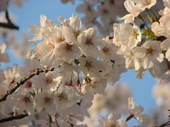 夕日桜12