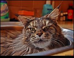 P4041776_b2 (DreamShoot by Marcel Steger) Tags: pet pets cute animal cat tiere eyes kitten tabby kitty gato mainecoon animalplanet catpicture kissablekat bestofcats olympuse3 dreamshoot marcelsteger catskatzeanimals