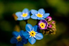 [フリー画像] [花/フラワー] [忘れな草/ワスレナグサ] [ブルー/花]        [フリー素材]