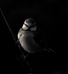 In Hiding (1963chris) Tags: blackandwhite bird nature birds contrast mono raw tits shadows wildlife sony monotone naturereserve hiding bluetit britishwildlife lightroom pottericcarr gardenbirds