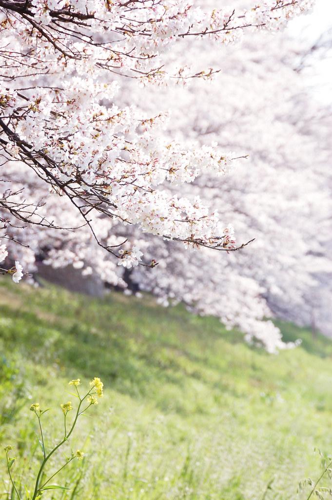Sakura 2010 #17