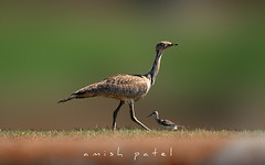 mac queen's bustard (amish_patel) Tags: jamnagar thepca