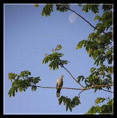 The Dove & the Moon (AM_DB) Tags: trees india heritage fauna wildlife streetphotography gujarat ahmedabad avians birdphotography heritagesites sigmalens nikond40 sarkejroza sigma18200mmoshsm sarkej d40dslr mouslemtomb mpcshoot protectedbyasi