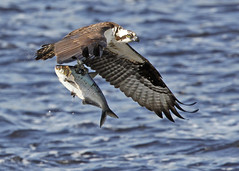 Osprey and catch of the day (Mawrter) Tags: wild fish canon newjersey fishing searchthebest action wildlife flight explore prey osprey pandionhaliaetus mauriceriver explored specanimal ospreywithfish avianexcellence bestofanimals naturesgreenpeace mothernaturesgreenearth mygearandmepremium mygearandmebronze mygearandmesilver mygearandmegold mygearandmeplatinum mygearandmediamond ringexcellence dblringexcellence yourbestshot2010