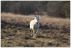 legging it (romorga) Tags: blue horse sunshine forest canon eos peace joy peaceful ground hampshire pony ponies marsh familt cavalo newforest trot marshland mammalia hest hevonen paard percheron hst trotting  ko equidae chevel 50d perissodactyla k equids equid   innoc nationalparkcanonromorgaanimalnatureequsequinespringsunshineboggy uk