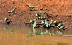 Honeyeater (Uhlenhorst) Tags: travel birds animals tiere reisen australia australien vögel 2009