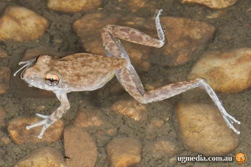 Copland's rock frog (Litoria coplandi)