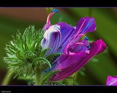 Flor Silvestre (Javier Martinez de la Ossa) Tags: espaa flores macro sevilla andaluca colores mygearandmepremium mygearandmebronze javiermartinezdelaossa blinkagain