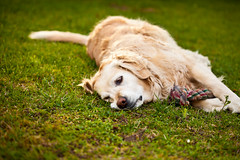 Tired (Matteo Crema) Tags: dog pet grass animal cane mouth garden golden teeth retriever erba bau animale giardino muso denti abbaiare