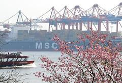 2177 Kirschbluete Japanische Kirschen in Hamburg an der Elbe (christoph_bellin) Tags: hamburg fruehling bluete containerterminal kirschbluete burchardkai hafenfaehre japanischekirschen