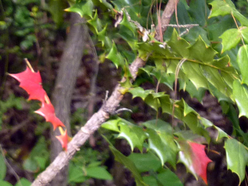 P1010760-2010-04-20-Reeder-Mystery-Plan-ThornLeaf-Blue-Berry-Red-Leaf-2