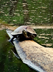 hanging out (bdaryle) Tags: lake nature water reflections log turtle sony brandondaryle bdaryle imagesbybrandon