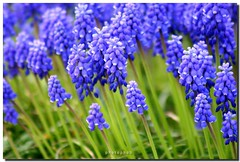 Muscari - Grape Hyacinth (PHOTOPHOB) Tags: flowers blue autumn summer plants plant flores flower color macro primavera nature fleur beautiful beauty azul fleurs petals spring colorful flickr blossom blu sommer herbst natur flor pflanze pflanzen blumen bloom blomma blume fiore lente blomst mavi printemps tavasz frhling muscari bloem wiosna grapehyacinth floro hyacinths kwiat forr traubenhyazinten kvt ilkbahar blomman blomsten hyazinthen printempo photophob hyazinten