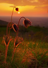Bowed to the sun - Inchinti al sole (Robyn Hooz) Tags: morning flowers sun ex canon daw