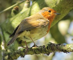 Robin (lisaluvz) Tags: tree bird broken nature robin foot branch wildlife feathers orchard bucks mk redbreast lisaluvz