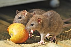 Two rats with an apple