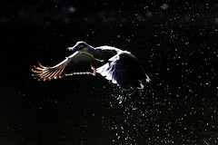 Duck (wetwing2005) Tags: bird nature water animal japan fly flying duck nikon wildlife yokohama splash nikkor waterfowl d3 naturewatcher