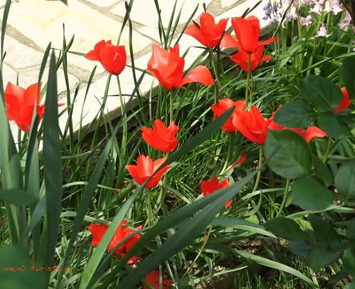 fiori e totanetti aprile 2010 007