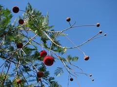 Parkia platycephala (= Parkia pendula) (João de Deus Medeiros) Tags: fabaceae Parkia platycephala parkiaplatycephala