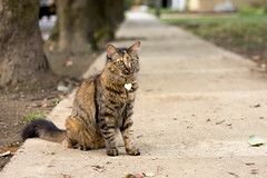 Canelita en la calle (AniSuperNova83) Tags: cute beautiful animal cat calle cafe pussy kitty domestic linda canela gatita tierna atigrada supernova83 anisupernova